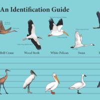 Lge_H2O_bird_ID_in.jpg