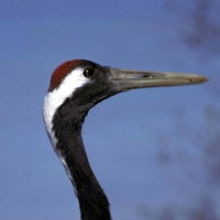 Red-crownedcrane2.jpg