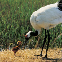 Red-crownedcrane1.jpg